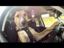 Новозеландский дрессировщик Марк Ветте научил трех собак водить машину.