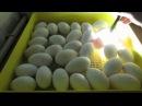 Овоскопирую гусиные яйца Пятые сутки инкубации Линдовские гуси