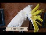 Продажа птенцов попугаев какаду - желтохохлый какаду из питомников Европы
