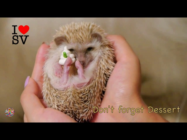 Dog and African dwarf hedgehog (homemade hedgehogs) HD [SV Life]