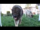 Волкодавы, Топ-5 собак способных в одиночку справится с волком!