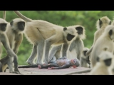 Langur monkeys grieve over fake monkey - Spy in the Wild- Episode 1 Preview - BBC One