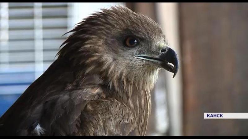 В Канске специалисты станции юннатов выхаживают хищную птицу