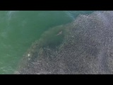 Aerial Footage Shows Sharks on a Feeding Frenzy in the Hamptons