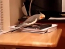 корелла попугай поет песню
