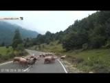 Баран жестко атаковал пастуха и увел свое стадо в лес_ видео