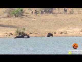 бегемоты отбили антилопу Гну у крокодила