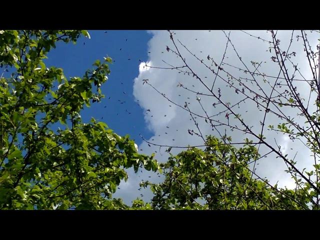 Поимка роя 18 06 2017 1