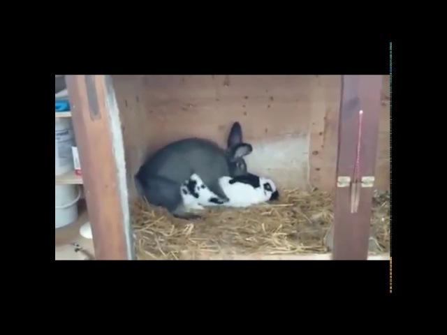 Спаривание кроликов | Mating rabbits