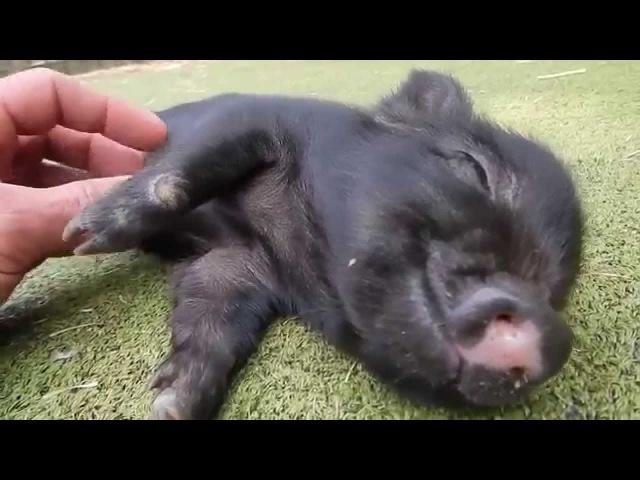 Ticklish Baby Pig