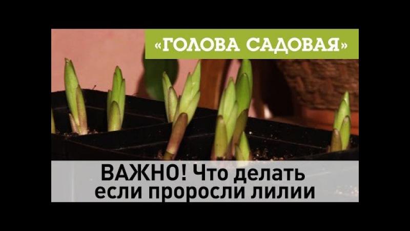 Голова садовая ВАЖНО Что делать если проросли лилии