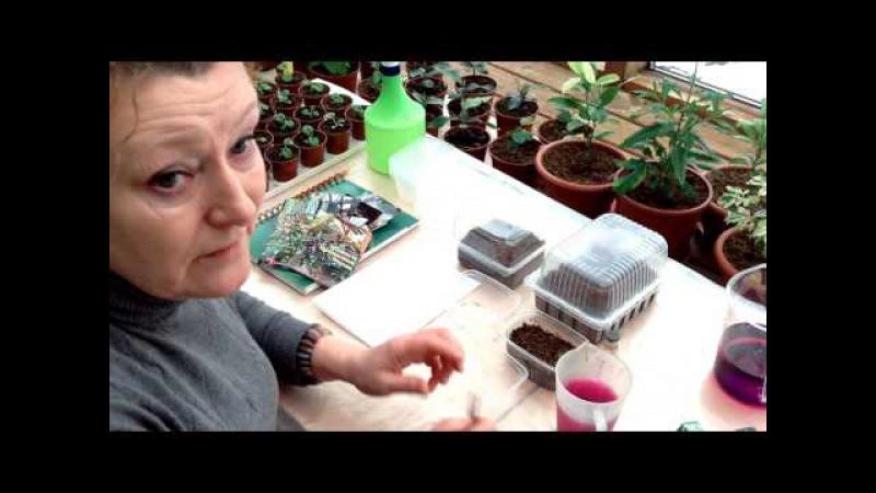 Выращивание Виолы, торфяные таблетки БиТи и новый сорт ампельной петунии Тайфун