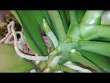 Орхидеи Фаленопсисы после препарата Рибав растят огромное количество корней.