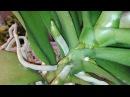 Орхидеи Фаленопсисы после препарата Рибав растят огромное количество корней
