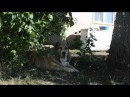 Алабай и кот , питомник среднеазиатских овчарок Гарджи Хан
