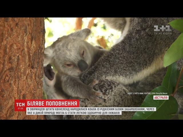 В Австралійському зоопарку народилася рідкісна коала з білим хутром