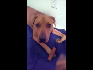 Освобожденная от собачих боёв собака не знает, что делать с косточкой (VHS Video