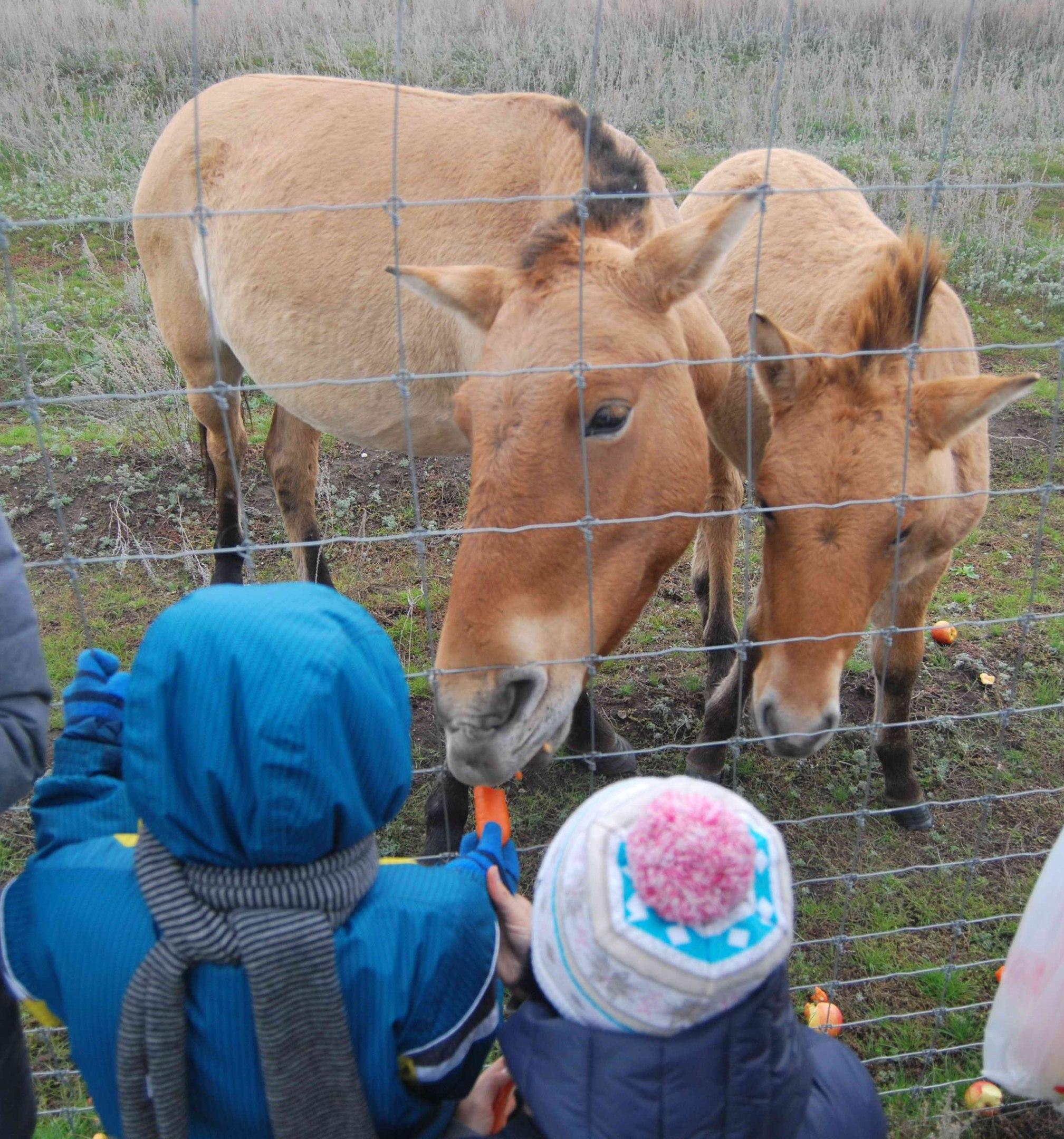 Маленькие участники экскурсии угощают лошадей Пржевальского