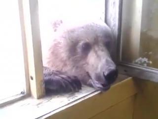 Голодный русский медведь
