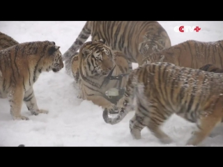 Амурские тигры охотятся на дроны