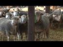 Najveci uvoz Il de frans ovaca u Srbiju ikad - ovcari se slozili oko genetike