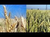 Сорта пшеницы: Богдана и Журавка. Какой результат перед Уборкой зерна.