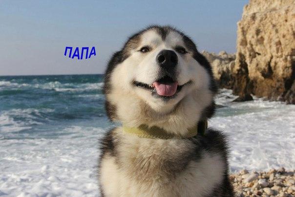 повседневной носки маламут щенки цена в россии двухслойное