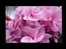ЦИКЛАМЕН (Cyclamen). Цветение цикламенов 2017 год