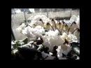 ЦИКЛАМЕН (Cyclamen).Цикламены в цвету 2017