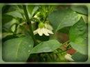 Перец не растет, застыл в росте, осыпается цвет и завязи. Что делать