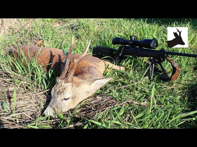 Stubborn old roebuck - Majowe polowanie na rogacze - Rehbockjagd - Chasse brocard