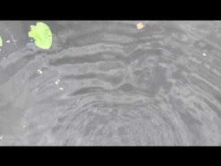 Карпы в Гатчинском озере