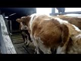 Погрузка скота в специализированный скотовоз