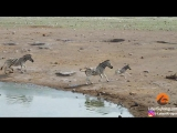 Жеребец зебры избавляется от