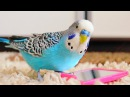 Budgie singing to mirror Parakeet Sounds