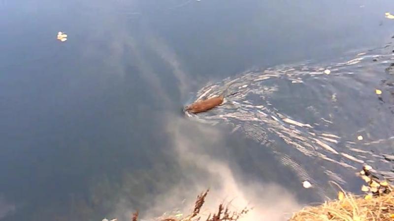 озеро в санатории карагайский бор. водяная крыса.