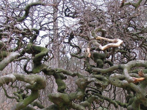 Faux de Verzy Фальшивый лес.