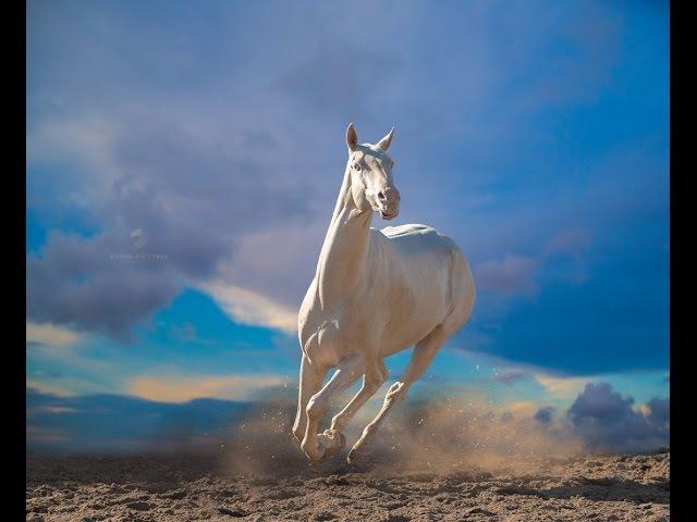Ahal Teke Safkan Türk Atları FULL HD Akhal Teke The Most Beautiful Stallion