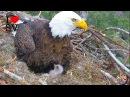 Рождение двух Белоголовый орланов Romeo Juliet's Американский орел SV Life