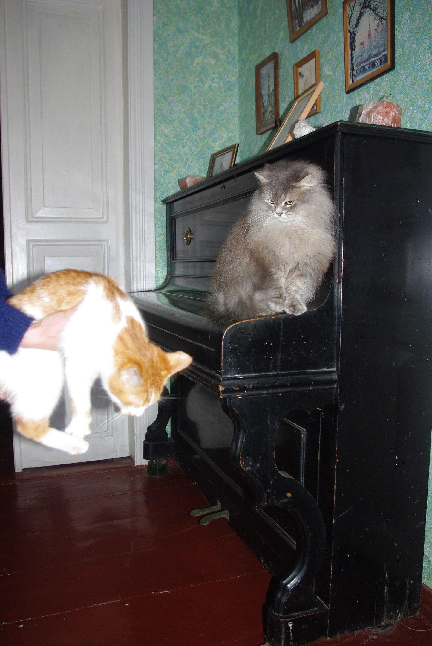серая персидская кошка Ванда