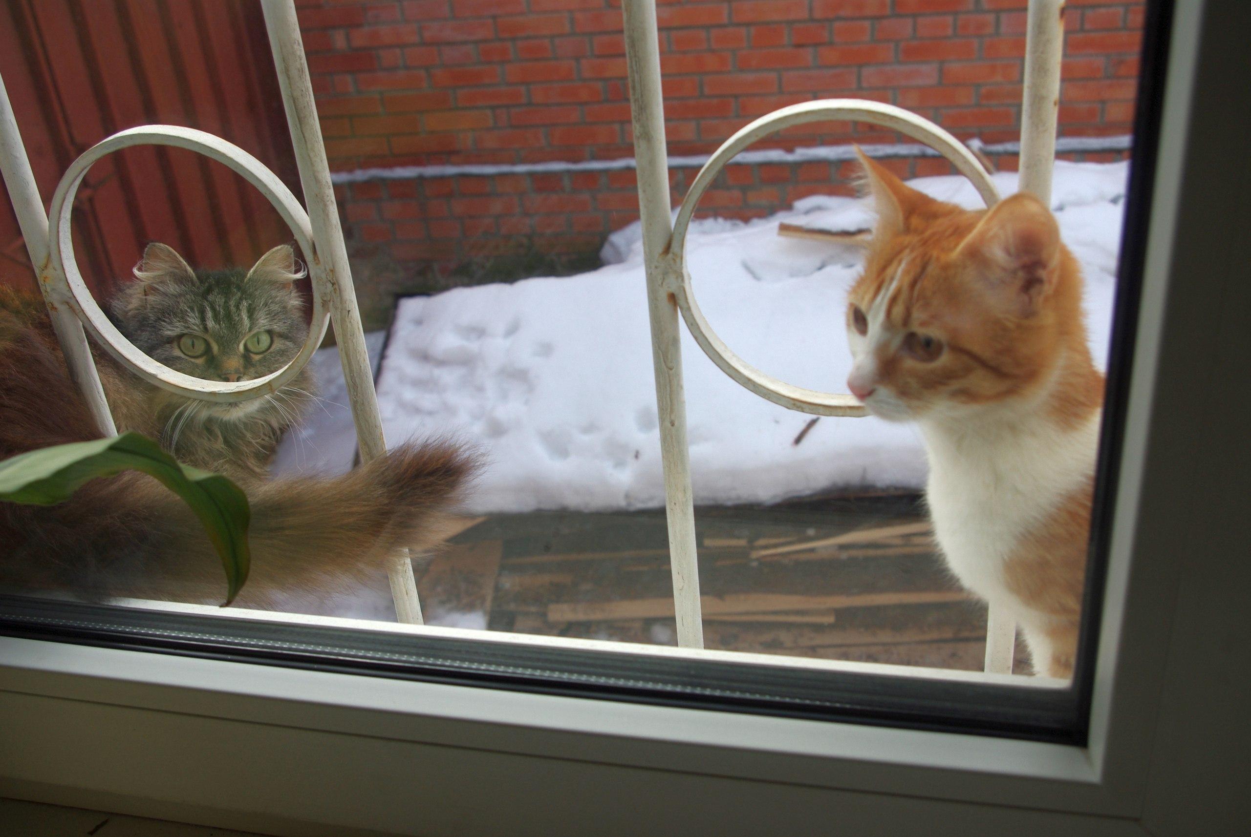 персидская кошка Джина