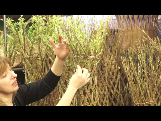 Видео-обзор. Живое плетеное дерево из ивы.