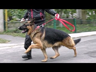Кобель Немецкой Овчарки Босс. Male German Shepherd Boss. Одесса.