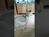 Лезги кицI. Собака понимает лезгинский язык Lezgi prikol