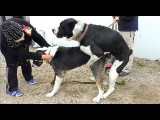 Вязка Собак. Огромные Алабаи (САО). Mating Dog. Central Asian Shepherd. Одесса.