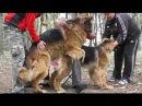 Вязка Собак. Mating Dogs. Строптивая Невеста Вольфа. German Shepherds.