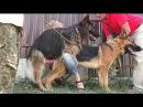 Вязка Собак. Невеста для Буча. Dog mating. German Shepherds. Одесса.