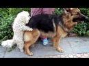 Большая Любовь маленького Бади. Смешная Вязка Собак. Funny Dog mating. Одесса.