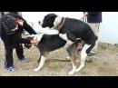 Вязка Собак. Огромные Алабаи САО. Mating Dog. Central Asian Shepherd. Одесса.