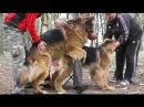 Вязка Собак. Агрессивная Невеста Дикса. Dogs Mating. Aggressive female.